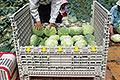 オールプラスチック製コンパレッターで品質保持と収穫効率アップ